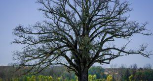 Burr Oak in McBaine